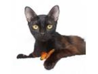 Adopt Ojai a All Black Domestic Shorthair / Mixed cat in Los Angeles
