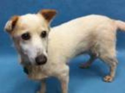Adopt Bride a Brindle Terrier (Unknown Type, Small) / Mixed dog in Golden