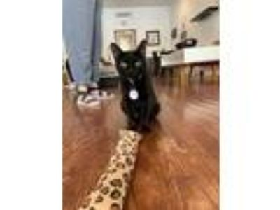 Adopt Ladybug (At Pounce Cat Cafe) a All Black Domestic Shorthair / Domestic