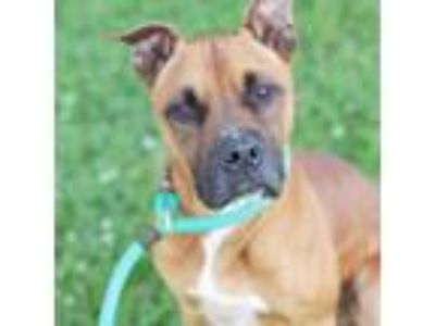 Adopt Pike a Boxer, Mixed Breed