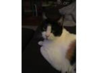 Adopt Belle by Name and Nature a Domestic Short Hair