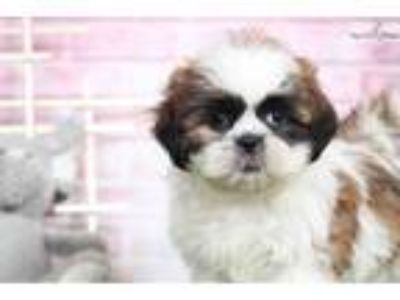Sophie - Female Shih Tzu