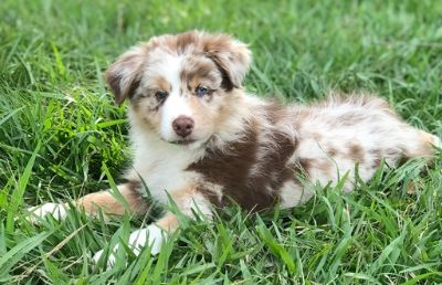 Australian Shepherd PUPPY FOR SALE ADN-107322 - AKC Australian Shepherd Puppies