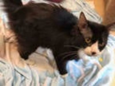 Adopt HARRY a All Black Domestic Mediumhair / Mixed (medium coat) cat in
