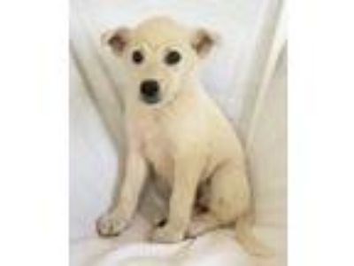 Adopt Liberty a White Great Pyrenees / Anatolian Shepherd / Mixed dog in