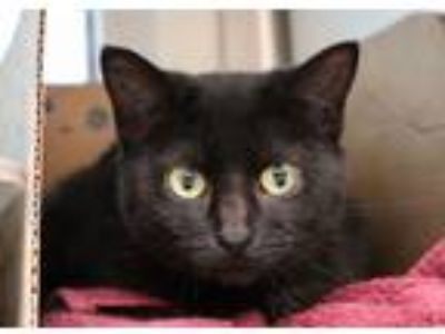 Adopt Filly a Domestic Short Hair