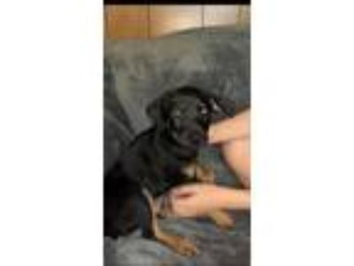 Adopt Stanley a Labrador Retriever, German Shepherd Dog