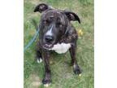Adopt MARTY- NEEDS A FOSTER/FOREVER HOME!!! a Plott Hound