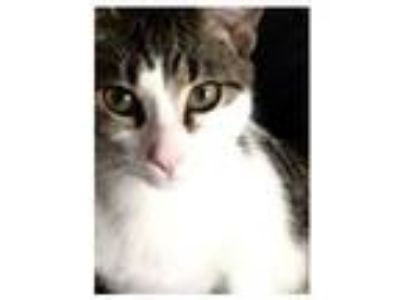 Adopt GQ and Prince a Domestic Short Hair