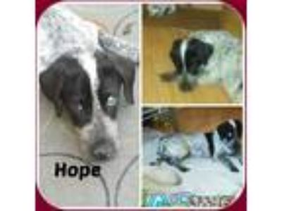 Adopt HOPE a Black - with White English Setter / Mixed dog in Malvern