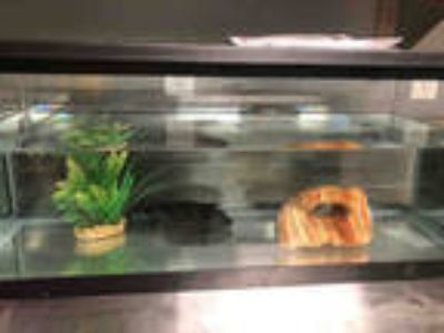 Adopt *TONY a Fish / Mixed reptile, amphibian, and/or fish in Las Vegas