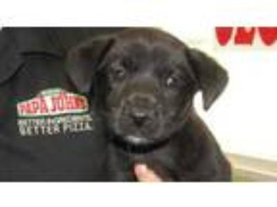 Adopt Peridot a Black Labrador Retriever / Mixed dog in West Memphis