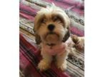 Adopt Bonnie (bonded with Clyde) a Brown/Chocolate Shih Tzu / Cavalier King