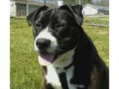 Adopt Harper a Black - with White American Pit Bull Terrier / Mixed dog in