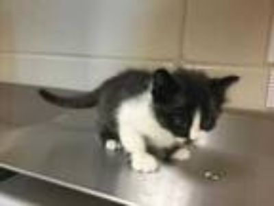 Adopt Scotch a All Black Domestic Shorthair / Domestic Shorthair / Mixed cat in