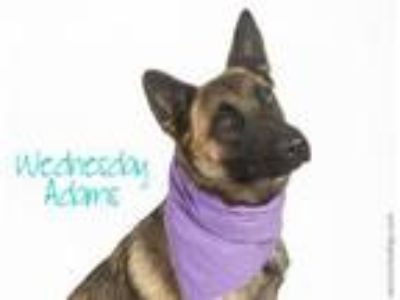 Adopt WEDNESDAY ADDAMS a Belgian Shepherd / Malinois, Mixed Breed