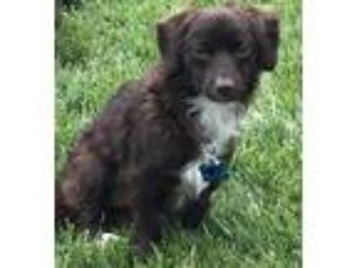 Adopt Ricky a Brown/Chocolate - with White Spaniel (Unknown Type) / Mixed dog in