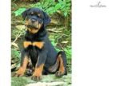 Gorgeous AKC ROTTWEILER PUPPIES