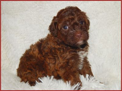 MINIATURE RED & CHOCOLATE POODLE PUPPIES, AKC, ...