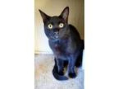 Adopt Brodie a Domestic Short Hair