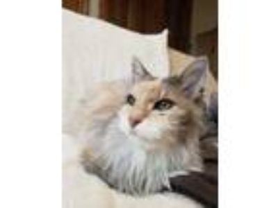 Adopt Rapunzel a Gray or Blue Domestic Longhair / Domestic Shorthair / Mixed cat