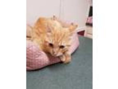 Adopt Charli a Orange or Red Tabby Domestic Shorthair / Mixed (short coat) cat