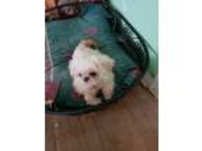 Adopt Albany a White - with Tan, Yellow or Fawn Shih Tzu / Mixed dog in Astoria