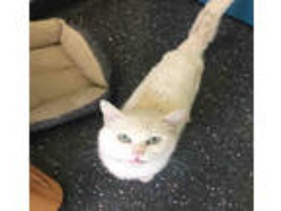 Adopt WILSON a White Domestic Shorthair / Mixed (short coat) cat in Peoria
