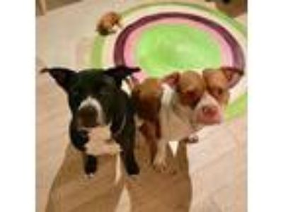 Adopt Bowie and Ben a Pit Bull Terrier, Staffordshire Bull Terrier