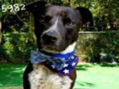 Adopt KING a Labrador Retriever, Border Collie