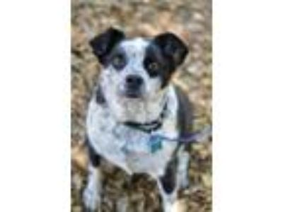 Adopt Achilles a Australian Cattle Dog / Blue Heeler, Border Collie
