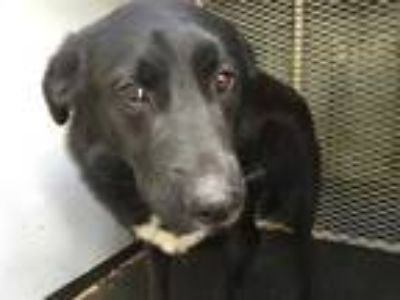 Adopt a Black - with White German Shepherd Dog / Labrador Retriever / Mixed dog