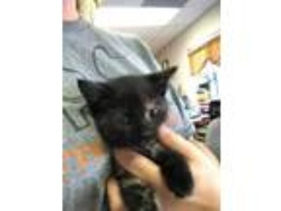 Adopt Ren a All Black Domestic Shorthair / Domestic Shorthair / Mixed cat in