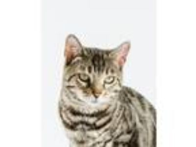 Adopt Frida a Spotted Tabby/Leopard Spotted Bengal cat in Worcester