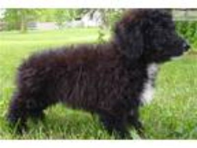 Puppy - Dogs for Adoption Classifieds in Dayton, Ohio - Claz org