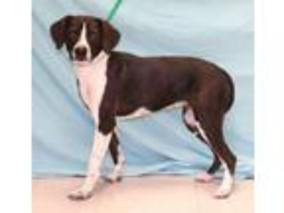 Adopt Maggie a Brown/Chocolate - with White Border Collie / English Springer