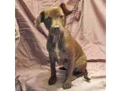 Adopt Poppy a Brown/Chocolate Labrador Retriever / Mixed dog in Fayetteville
