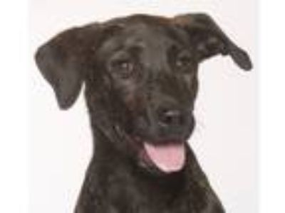 Adopt Sissy a Brindle Catahoula Leopard Dog / Labrador Retriever / Mixed dog in