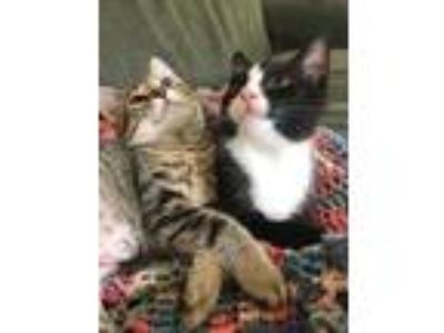 Adopt Burger a All Black Domestic Shorthair / Domestic Shorthair / Mixed cat in