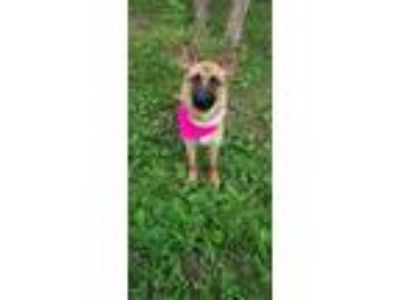 Adopt Willow a Belgian Shepherd / Malinois, German Shepherd Dog