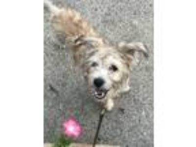 Adopt Polly a Yorkshire Terrier