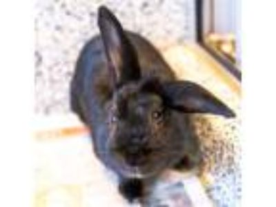 Adopt Sir Hopsalot a Rex / Mixed rabbit in Golden, CO (25883990)