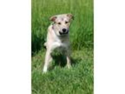 Adopt Henry a Anatolian Shepherd, Mixed Breed