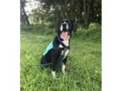 Adopt Ranger a Black - with White Hound (Unknown Type) / Mixed dog in Keyport