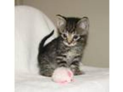 Adopt Maleko (baby boy) a Brown Tabby Domestic Shorthair / Mixed (short coat)