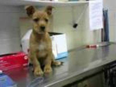 Adopt MECCA a Yorkshire Terrier, Mixed Breed