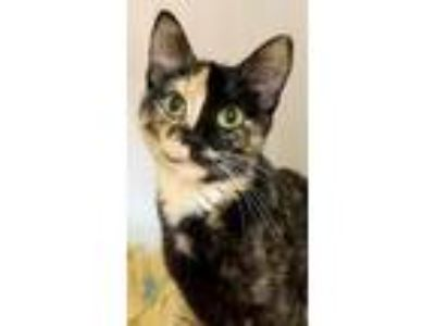 Adopt Two Tone a Domestic Short Hair