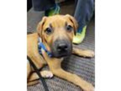 Adopt Hal a Tan/Yellow/Fawn - with Black Hound (Unknown Type) / Mixed dog in