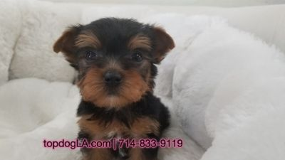 Yorkshire Terrier PUPPY FOR SALE ADN-69236 - Yorkshire terrier Female Baby