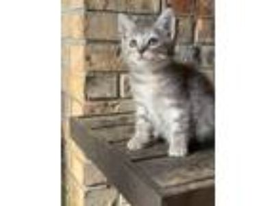 Adopt Jubilee a Gray, Blue or Silver Tabby Domestic Shorthair (short coat) cat